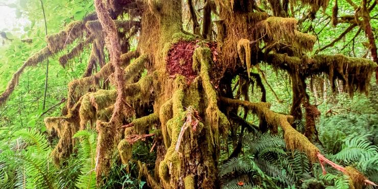 CARMANAH WALBRAN PROVINICIAL PARK gnarled tree