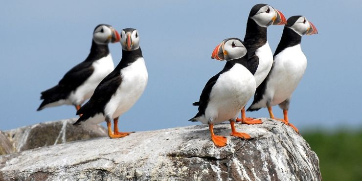 Northumberland Coastal Route featured by top international travel blog, Tracy's Travels in Time: image of PUFFINS ON THE FARNE ISLANDS