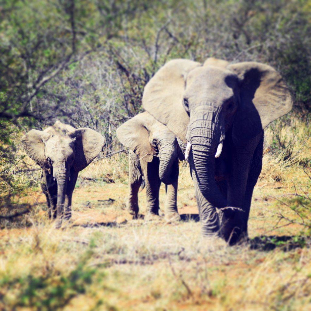 AAA elephants