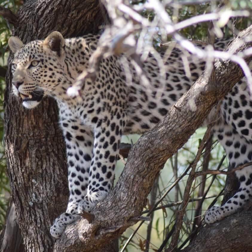 AAA leopard