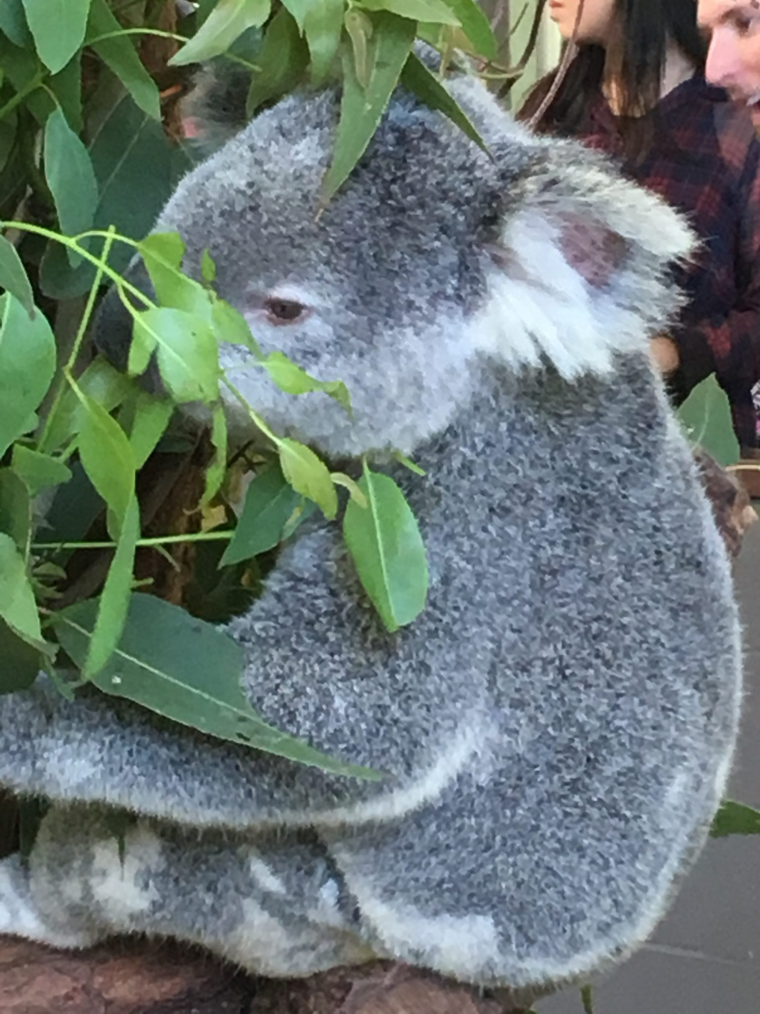 A guide to visiting Lone Pine Koala Sanctuary