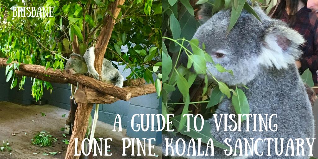 A photograph of a koala with the title a guide to visiting Lone Pine Koala Sanctuary