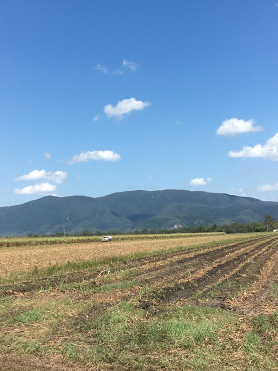 Sugar cane fields with a dunder truck in the background