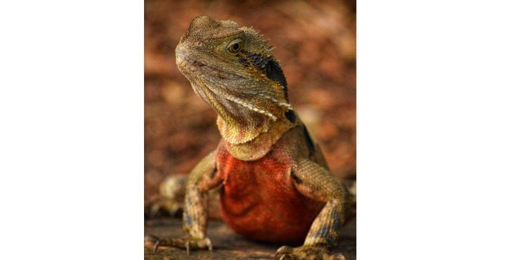Lizard at Lone Pine