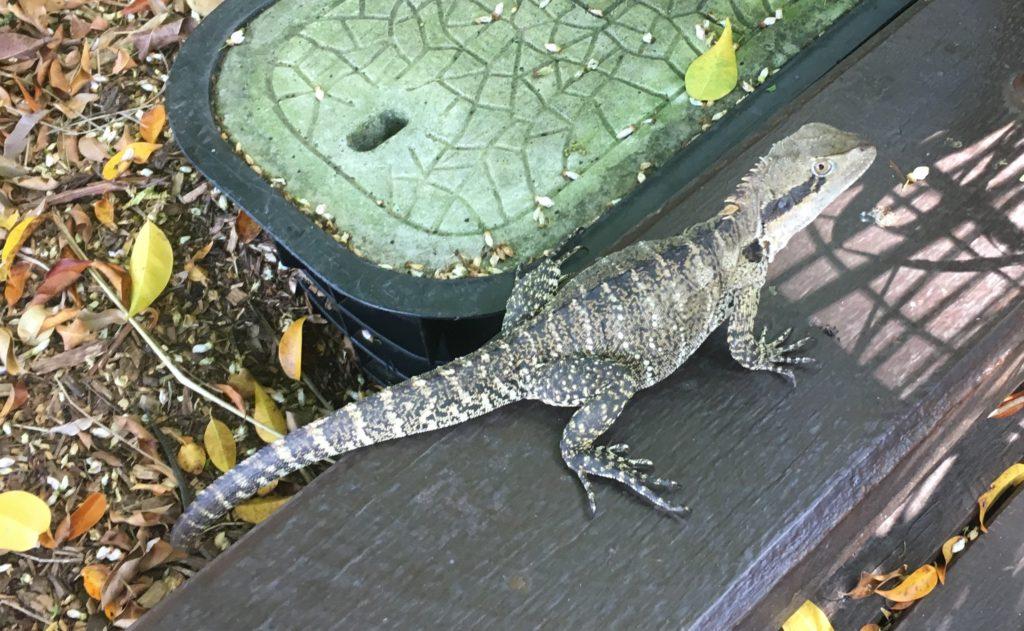 lizard at South Bank Brisbane