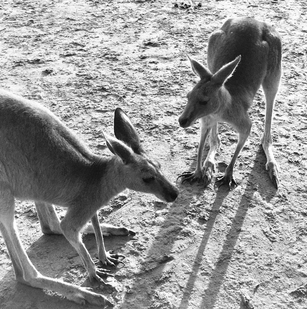 A black and white image of two kangaroos on a beach