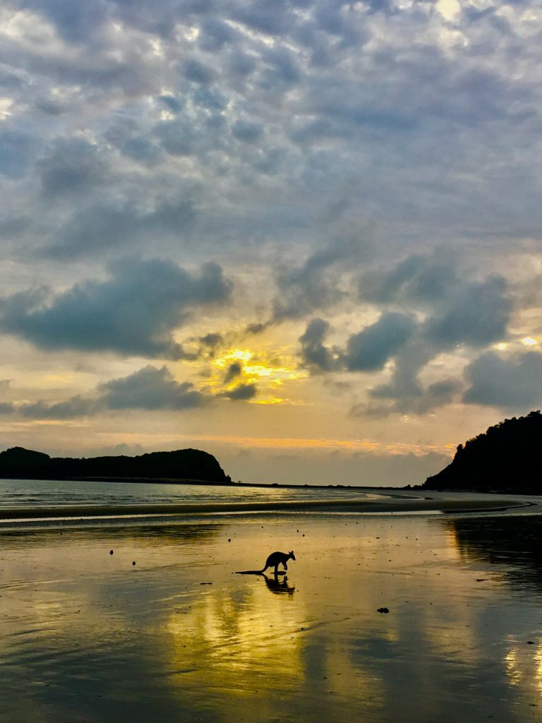 A kangaroo on Cape Hillsborough beach at sunrise from a post all about the best time to see kangaroos at Cape Hillsborough
