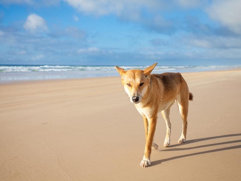 Dingo walking along a beach one of many Australian animals in Queensland