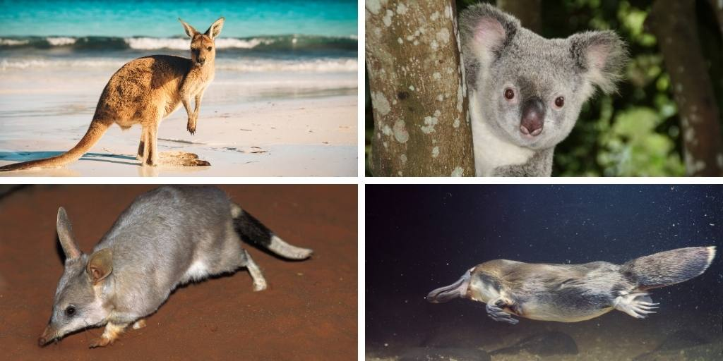 Australian animals found in Queensland koala kangaroo bilby and platypus