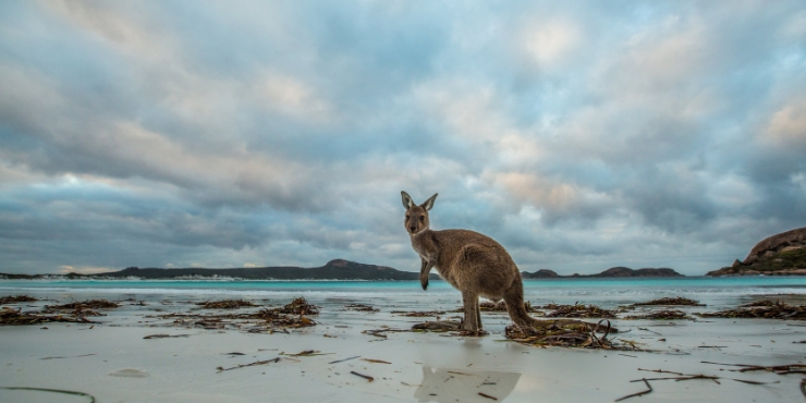 KANGAROO ON A BEACH