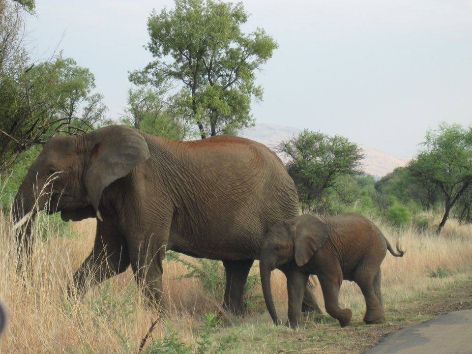 Elephants in South Africa - just one reason you should holiday in South Africa