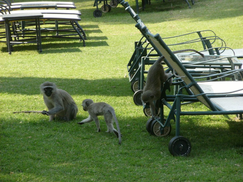 monkeys playing on the lawn