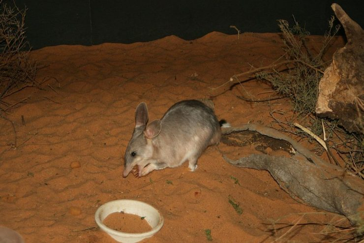By stephentrepreneur from Adelaide, Australia (I Shot the Easter Bilby!) [CC BY-SA 2.0 (https://creativecommons.org/licenses/by-sa/2.0)], via Wikimedia Commons