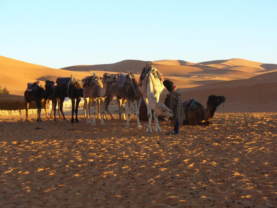 camels in the desert in morocco