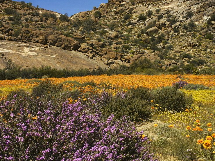 Desert in the spring, flowering Desert, Namaqualand, Goegap Nature Reserve, Northern Cape, South Africa
