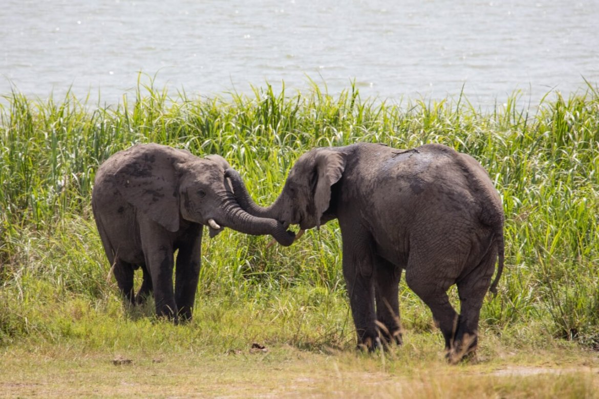 Two baby elephants touching their trunks