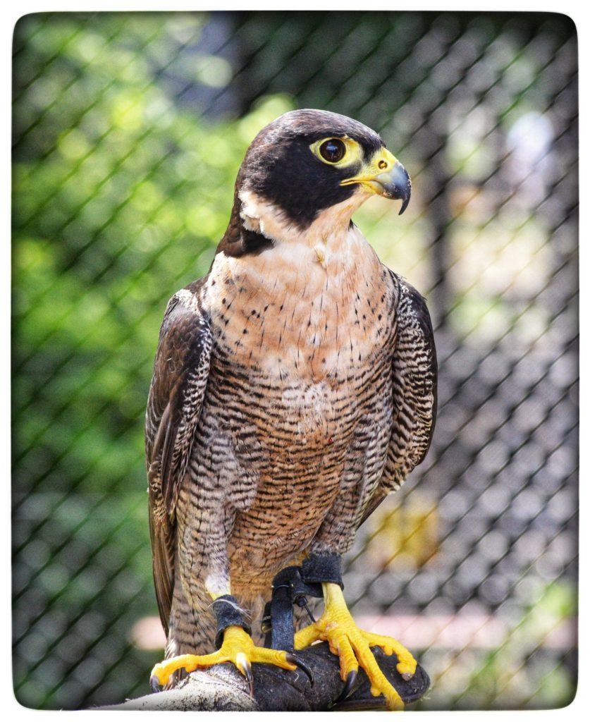 Peregrin Falcon - living in brisbane