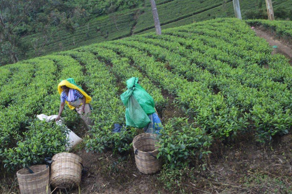 tea-picking