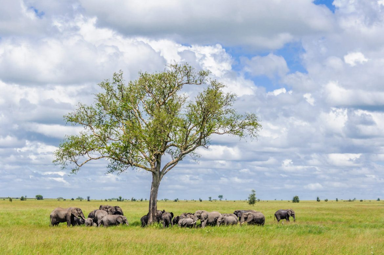 Elephants on the plains of Tanzania