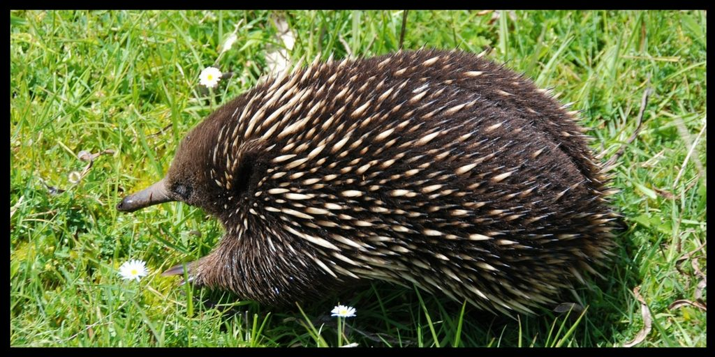 WHERE TO find Australian animals in their natural habitat - ECHIDNA