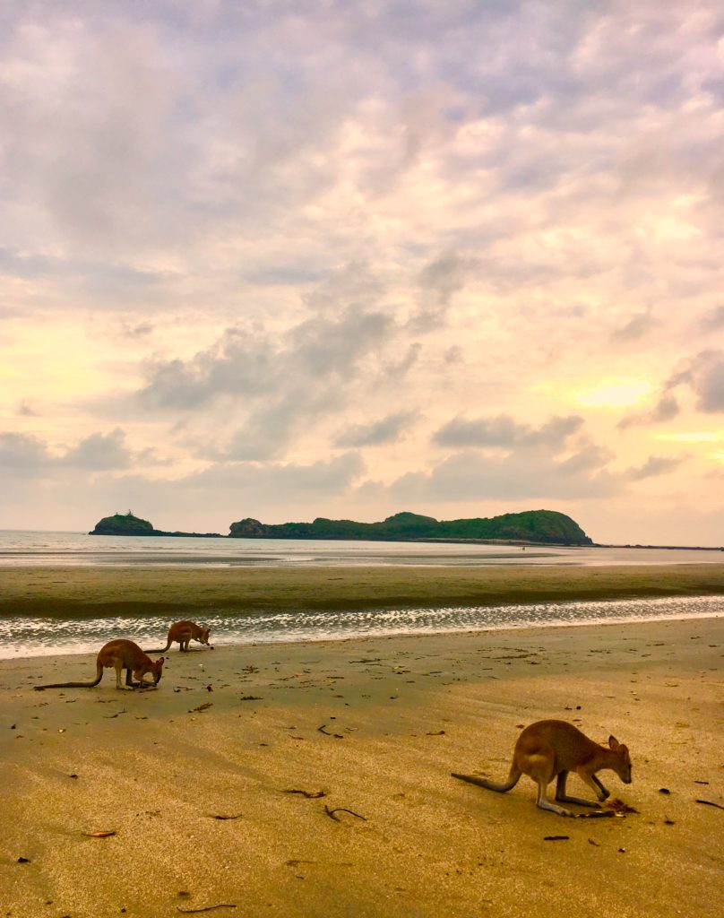 3 kangaroos on a beach in Cape Hillsborough at dawn