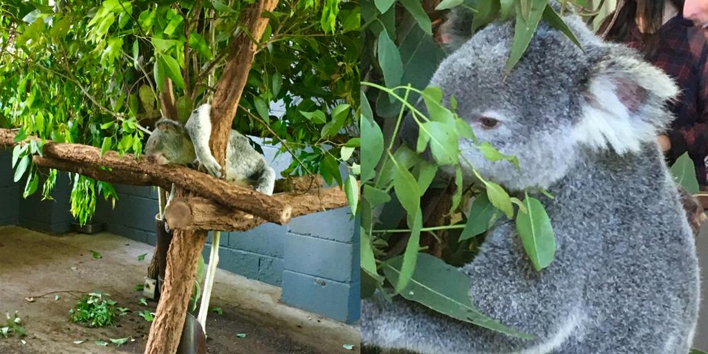 Koalas sleeping and eating at Lone Pine Koala sanctuary in Brisbane