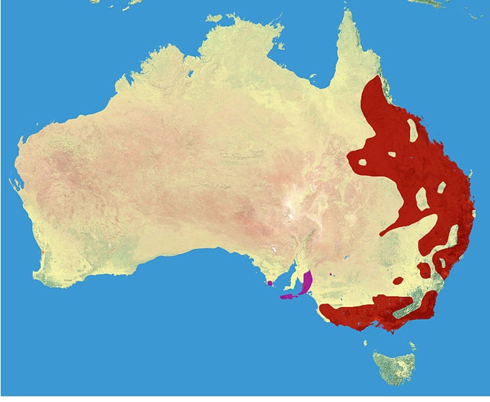 Where to find koala in Australia - a map showing the habitat