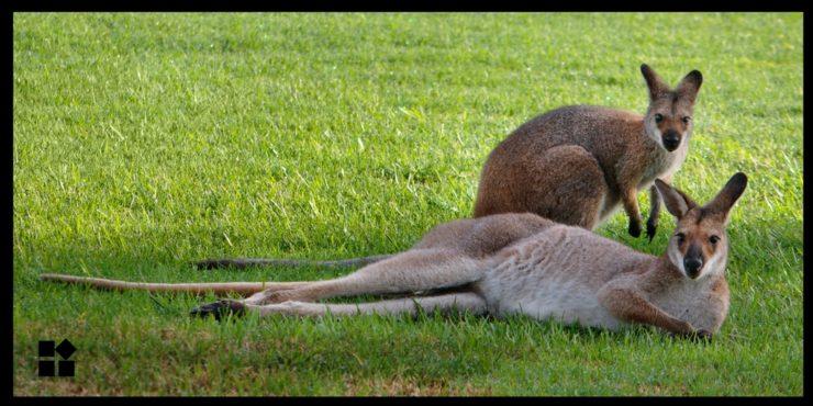 living in australia - 2 kangaroos