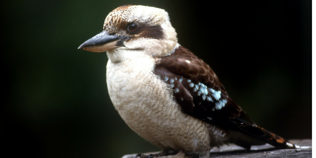 kookaburra 65 Things to Know Before Moving to Australia featured by top Australia travel blog, Tracy's Travels in Time