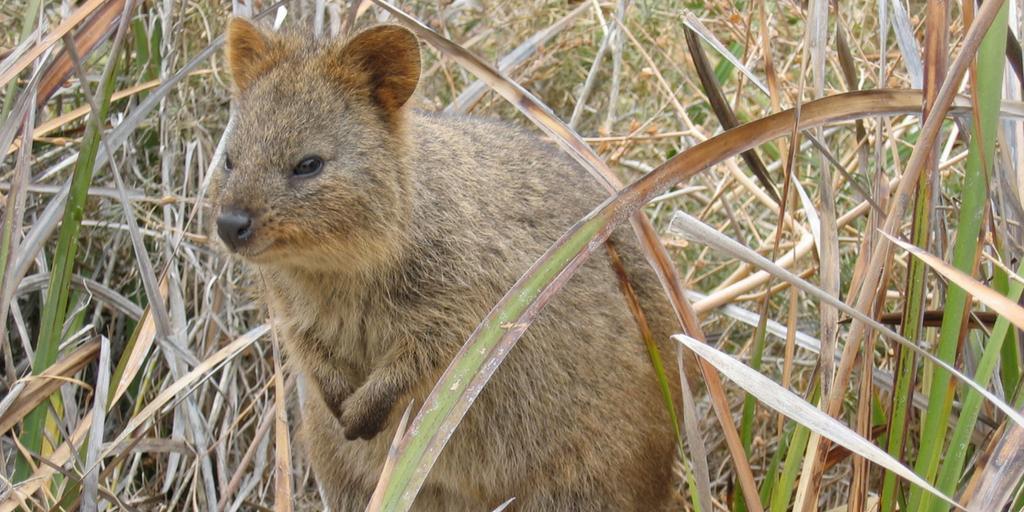 quokka on rottnest island australia