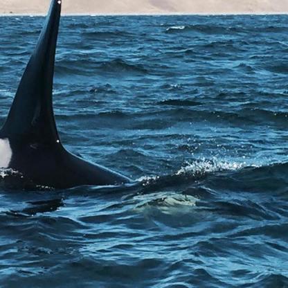 a killer whale tail