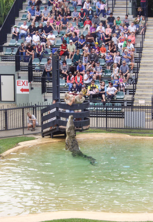 A huge crocodile leaps out of the water at Australia Zoo