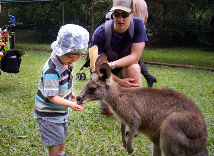 a boy feeds a kangaroo at Australia Zoo