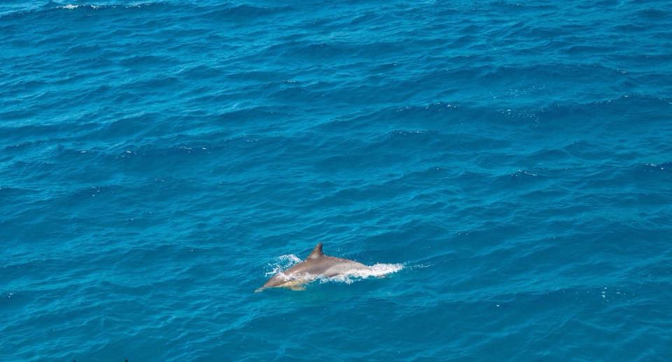 dolphin in moreton bay