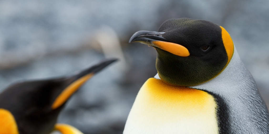 Macquarie Island penguins