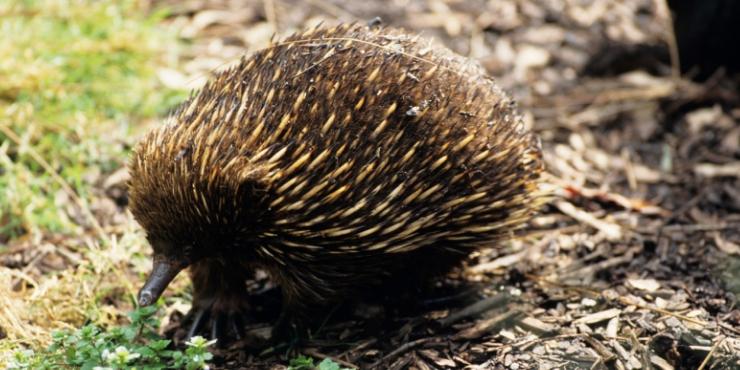 ECHIDNA TASMANIA ANIMAL