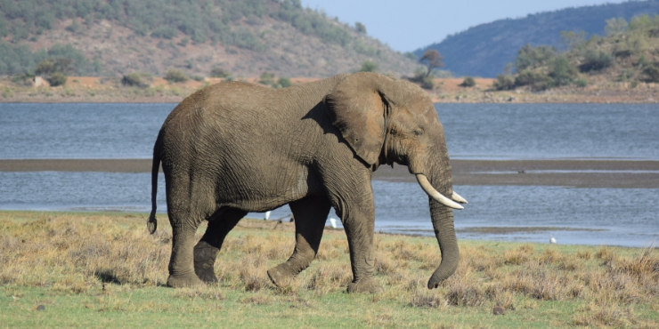 African elephant in South Africa on safari
