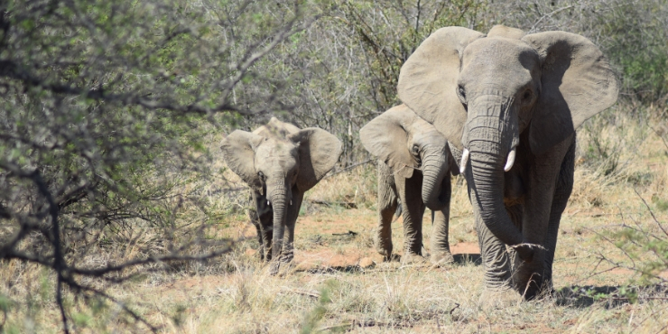 Mother elephant with 2 babies in South Africa