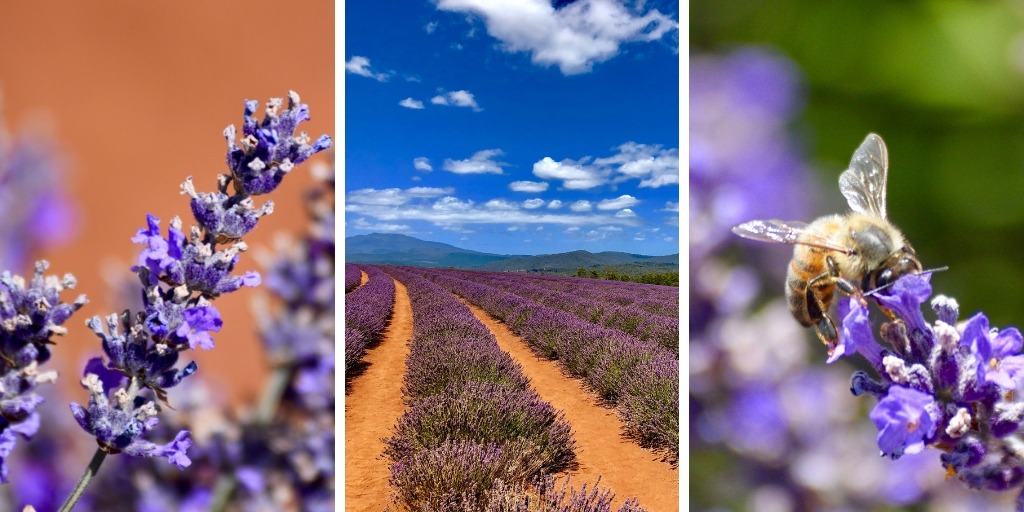 LAVENDER FIELDS IN TASMANIA
