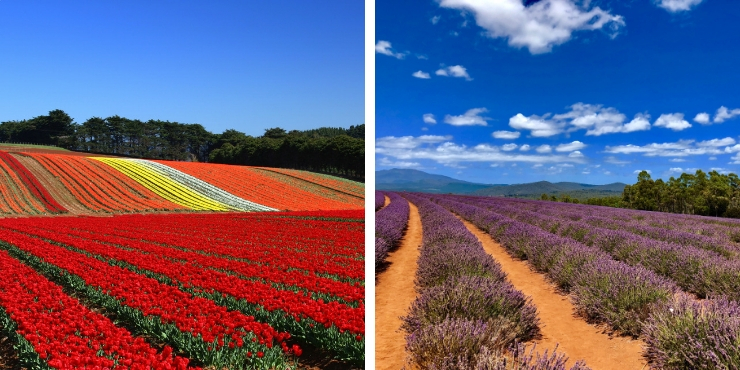Tulip and Lavender fields in Tasmania