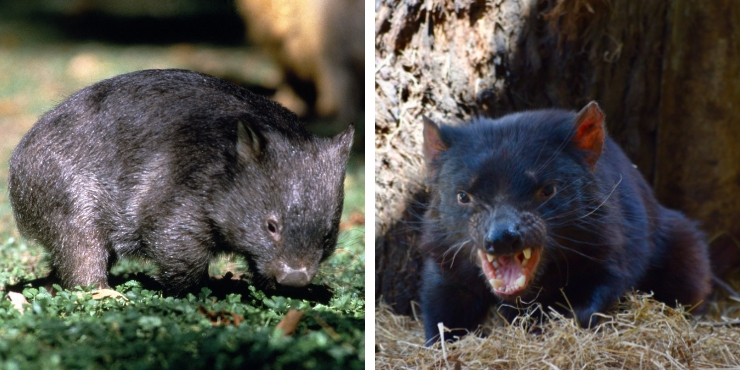 A wombat and a Tasmanian devil