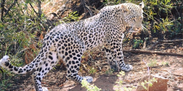 Leopard on the ground in South Africa - safari tips