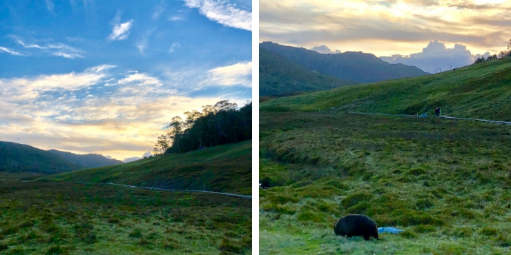 wombats on cradle mountain