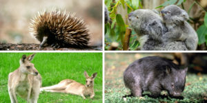 Australian animals - echidna, koala, kangaroo and wombat