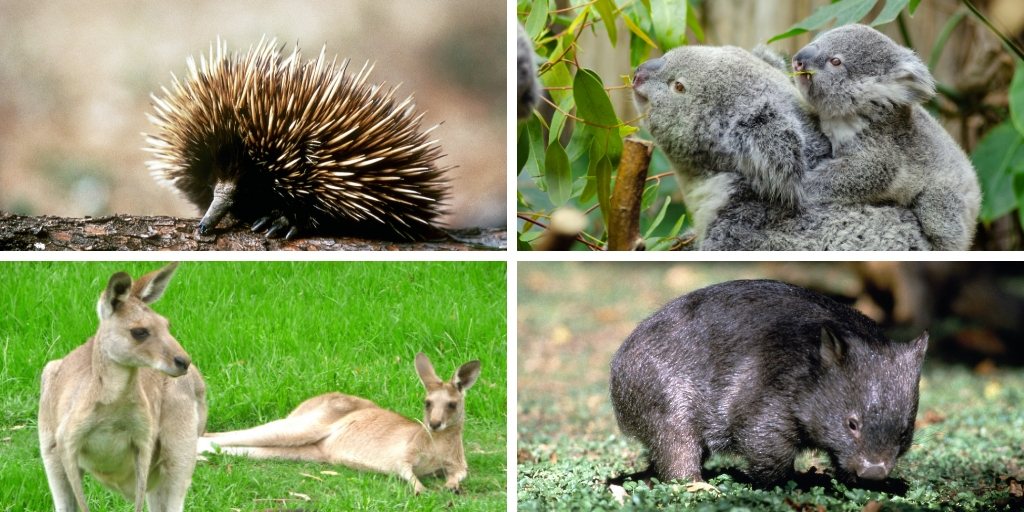 Australian animals - echidna, koala, kangaroo and wombat