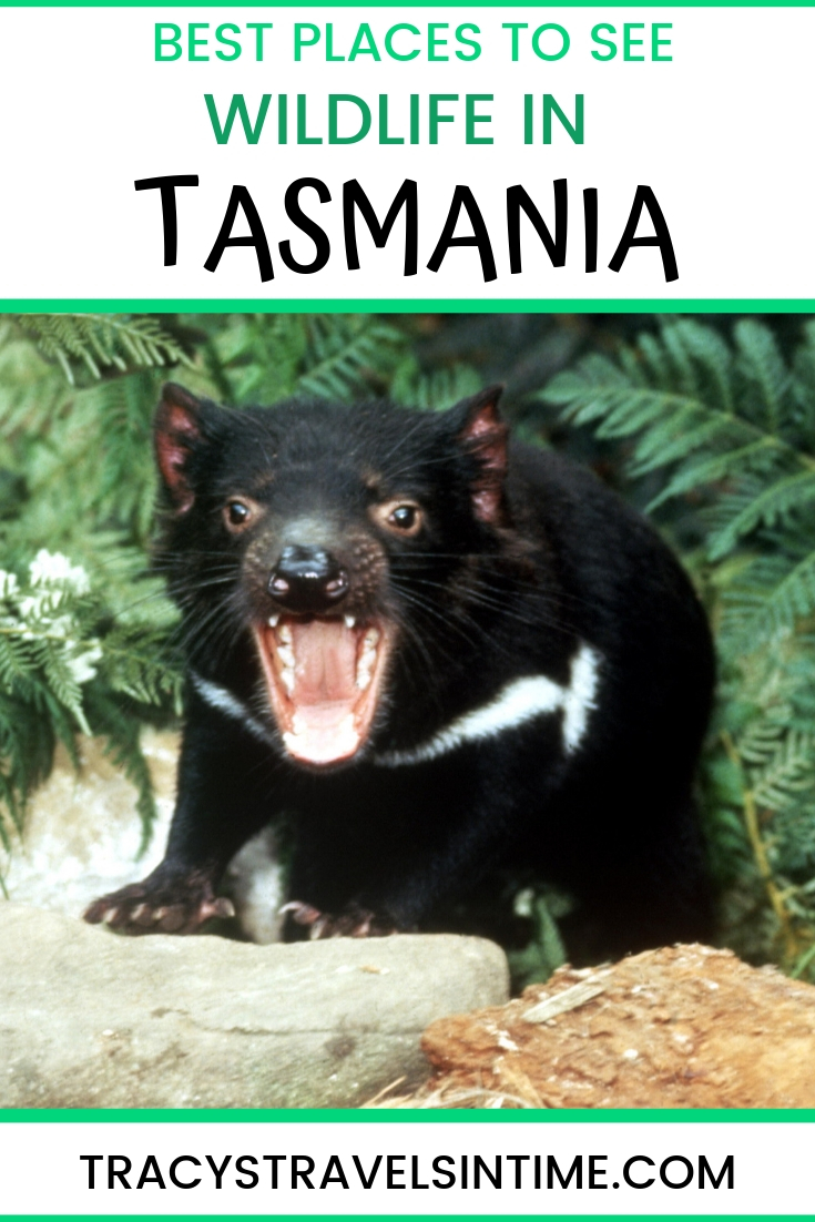 BEST PLACES TO SEE WILDLIFE IN TASMANIA - AUSTRALIA TRAVEL
