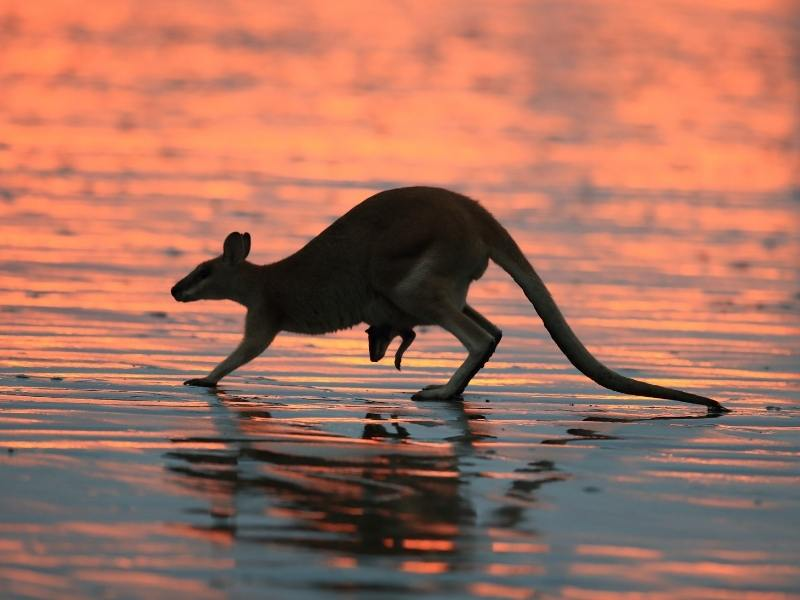 Kangaroo with a joey peeking out from her pouch on a beach at dawn - this is one of the best things to do in Mackay.