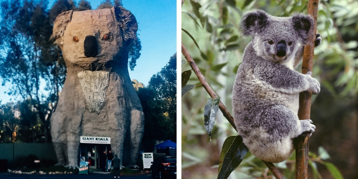 Giant koala with a real koala for comparison!