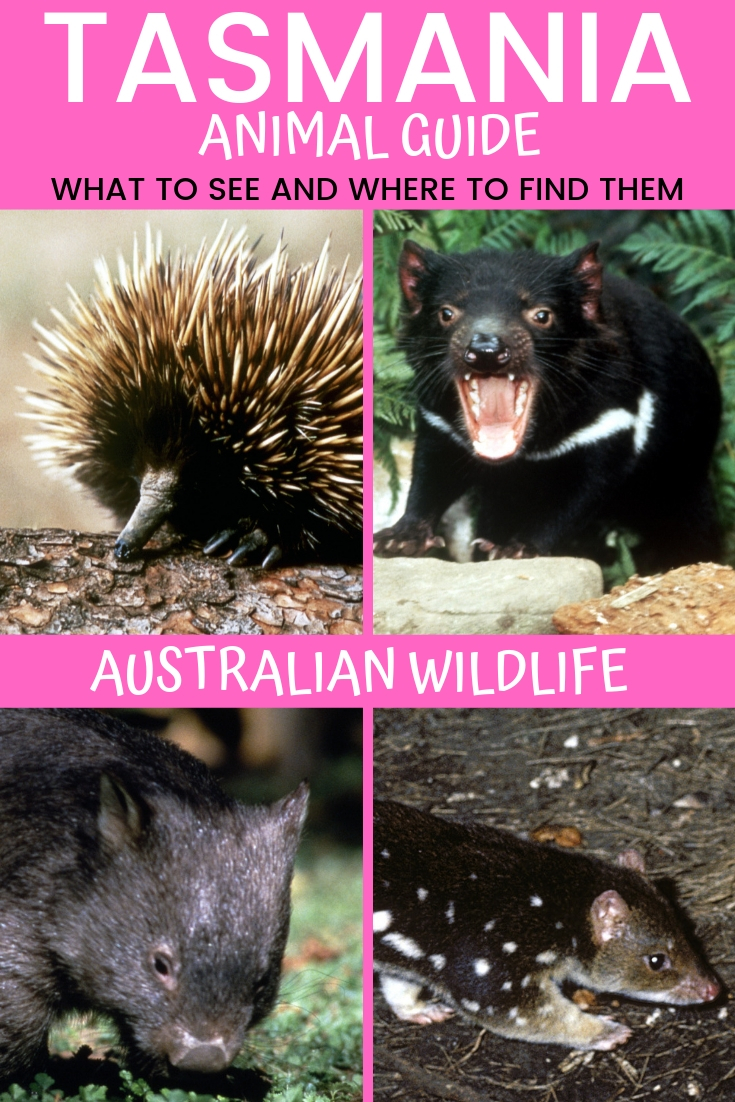TASMANIA ANIMALS AND WHERE TO FIND THEM - AUSTRALIA TRAVEL