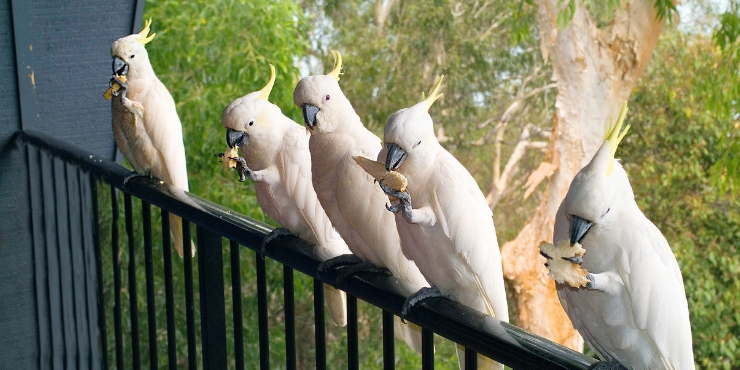Sulphur crested cockatoos on a fence in Australia